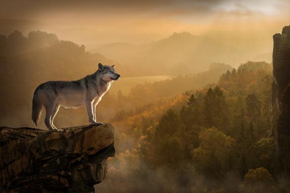 wolf-3158282_960_720